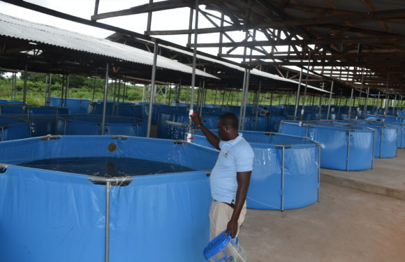 Delta State Fast Becoming Fish, Rice, Poultry Hub For Economic Development Through YAGEP Scheme