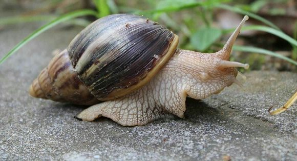 FEATURES: WHY SOME COMMUNITIES IN ISOKO LAND FORBIDS SNAIL