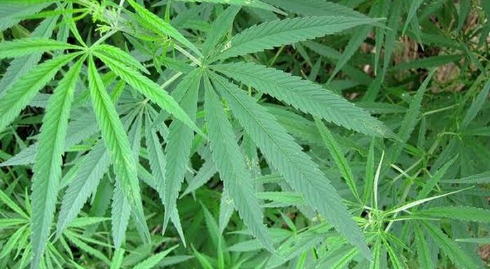 Cannabis Sativa Can't Be Legalised Under Prevailing Security Situation In Nigeria -Marwa