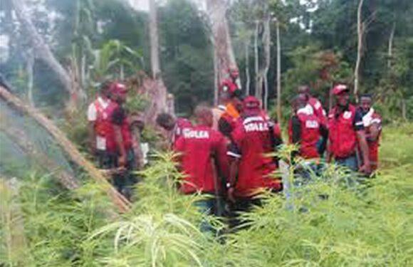 NDLEA Destroys 14 Hectares Cannabis Farms In Edo